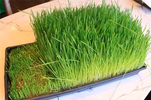пшеница дома