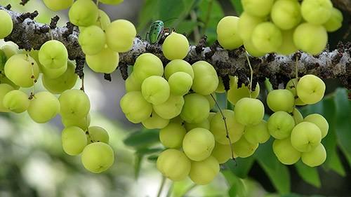 Амла (Амалаки) – растительная добавка аюрведы, способная укрепить ваше здоровье и очистить организм