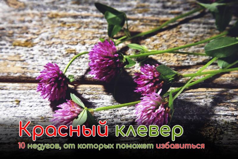10 недугов, от которых поможет избавиться красный клевер: основные лечебные свойства привычного всем растения