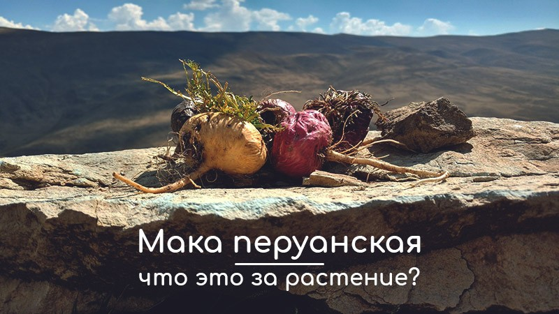 Мака перуанская: что это за растение и какое влияние оказывает на мужской и женский организм? Ассортимент добавки на IHerb. Растения, оказывающие аналогичное действие