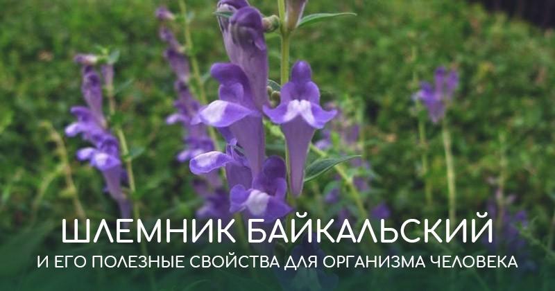 Шлемник байкальский и его полезные свойства для организма человека