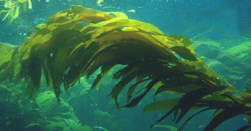 бурая водоросль келп