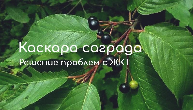 Каскара саграда или крушина: свойства и использование в народной медицине. Самые популярные добавки на основе растения