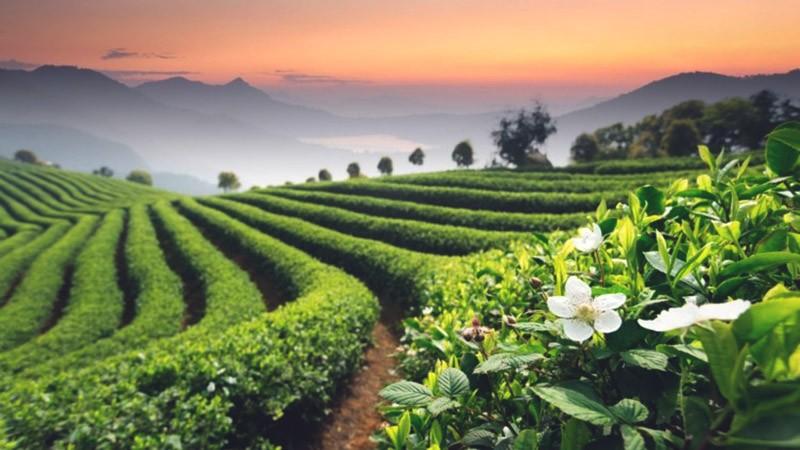 плантация с зеленым чаем