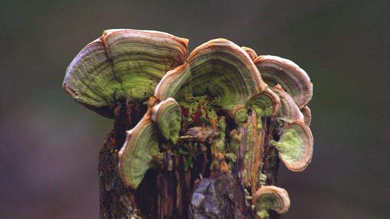 гриб траметес разноцветный