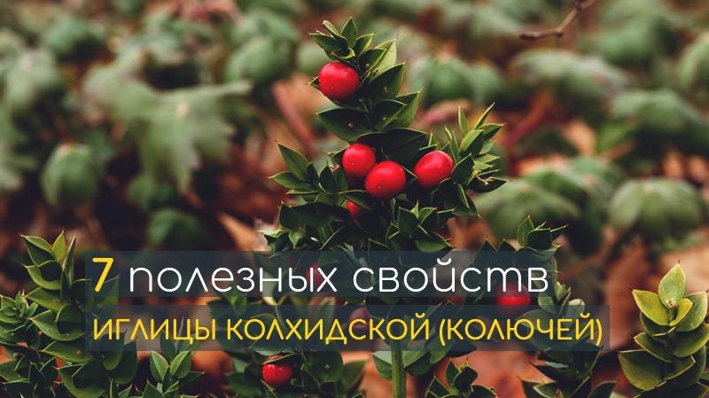 Влияние иглицы колхидской (колючей) на организм человека: лечебные свойства. Какие болезни поможет победить растение? Самые распространенные добавки на основе иглицы