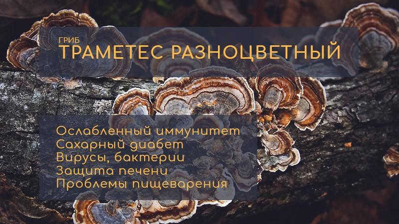 8 проблем со здоровьем, с которыми поможет справиться траметес разноцветный (Trametes versicolor). Описание гриба, химический состав, показания и противопоказания