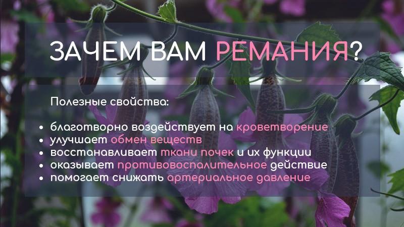 Что из себя представляет ремания клейкая? Полезные свойства растения, при каких заболеваниях может помочь. Противопоказания