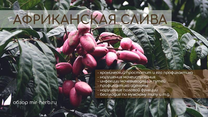 Польза экстракта коры африканской сливы для мужского здоровья. Лечебные свойства растения, применение в урологии. Подбор самых популярных БАДов