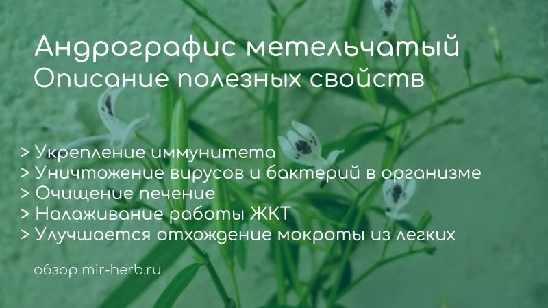 Описание полезных свойств растения андрографис метельчатый. Показания к применению. С какими болезнями поможет справиться? Примеры добавок с андографисом в составе на iHerb