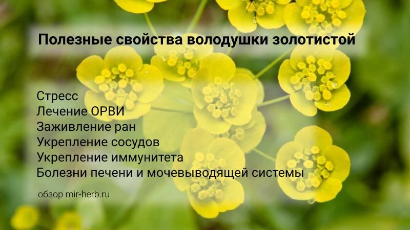 Полезные свойства володушки золотистой для здоровья человека. При каких заболеваниях может помочь? Возможные противопоказания к применению