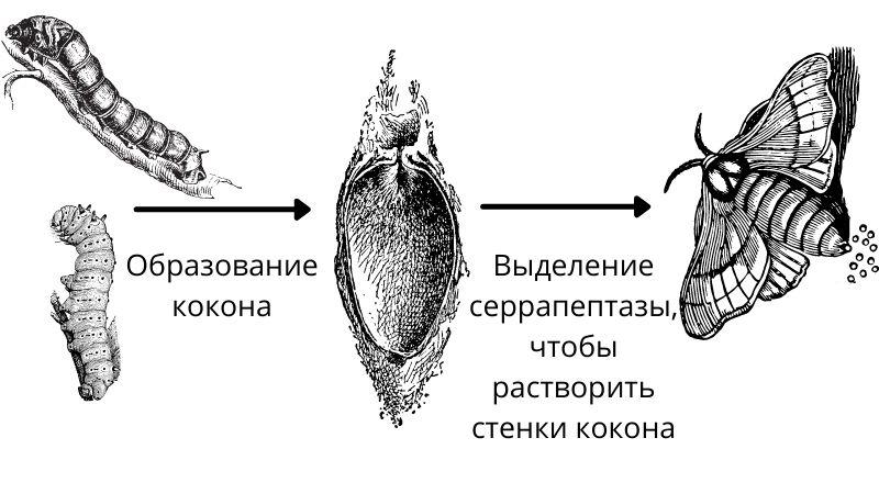 откуда берется серрапептаза