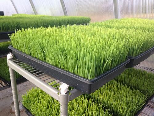 выращивание пшеницы в теплице