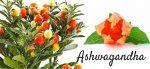 Полезные свойства растения ашваганда. Влияние добавки на организм человека. Почему ашваганда запрещена на территории России?
