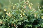Астрагал – чудодейственное растение народной медицины. Показания к применению, полезные свойства, противопоказания, способы употребления